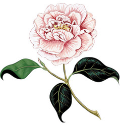 Camellia vector image vector image