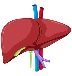 Liver anatomy of human body vector