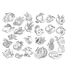set of isolated sketches of exotic tropical fruit vector image