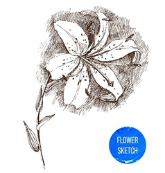 Hand drawn lily flower vector