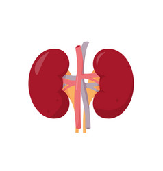 Human kidneys anatomy on white background vector