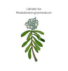 Labrador tea medicinal plant vector