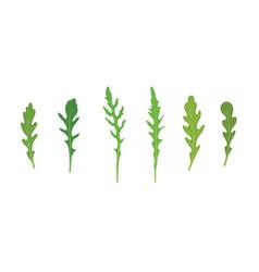 set arugula rucola rocket salad fresh green vector image