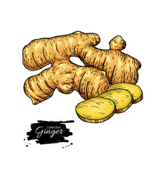 Ginger root hand drawn roo vector