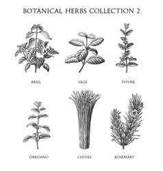 Botanical herbs collection hand draw engraving vector