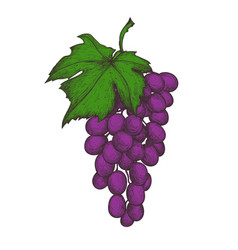 grapes bunch hand drawn isolated icon vector image