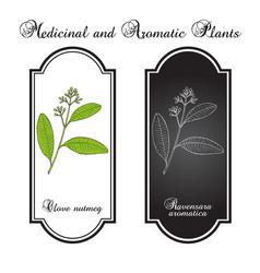 Clove nutmeg ravensara aromatica aromatic and vector