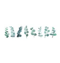 eucalyptus silver greenery vector image