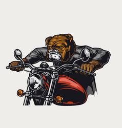 Dangerous bulldog head motorcyclist vector