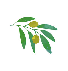 olives on branch with green foliage natural food vector image