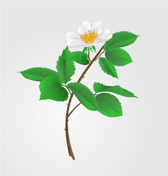 Wild rose twig with leaves and flowers vector image