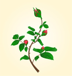 Buds of climbing red rose stem vector