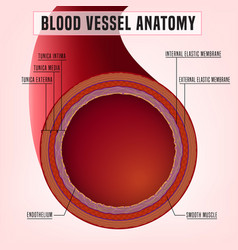 Blood vessel anatomy vector