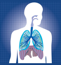 human system respiratory vector image vector image