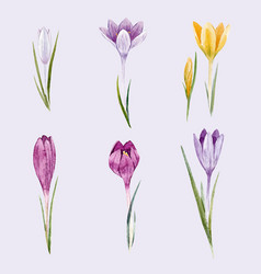 watercolor floral crocus set vector image vector image