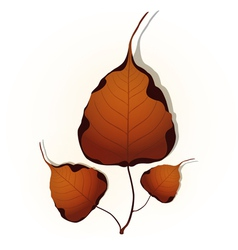 Bodhi leaf Natural vector