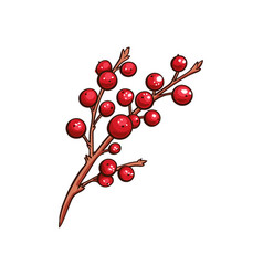 Christmas berry holly or ilex isolated branch vector