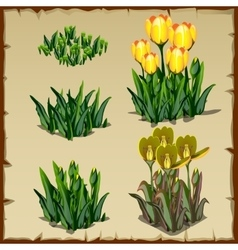 Stages growth tulips planting and withering vector