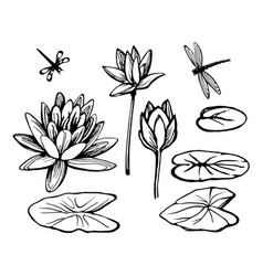 water lily lotus and dragonfly vector image