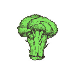 Fresh broccoli hand drawn isolated icon vector