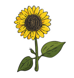 Colorfed sunflower plant on white background vector