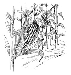 Ears of corn in a field in summer before harvest vector