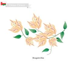 Orange Bougainvillea Flowers Flower of Oman vector image vector image
