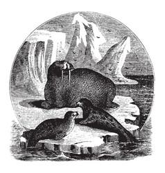 Seals and walrus vintage vector