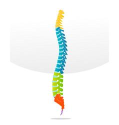spine bone detailed vector image vector image