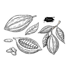 cocoa superfood drawing setorganic healthy vector image