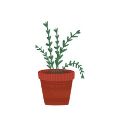 herb in a flowerpot rosemary or oregano in a vector image