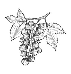 black currant with leaves sketch engraving vector image