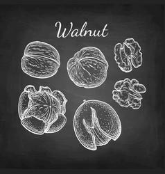 Chalk sketch walnuts vector