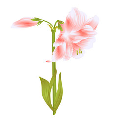 elegant blooming amaryllis pink flowers and bud vector image