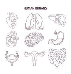 Human internal organs collection sketch vector