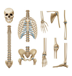 Realistic human skeleton parts set vector