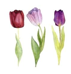 three watercolor tulips vector image