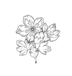 sakura flowers blossom bud hand drawn line ink vector image