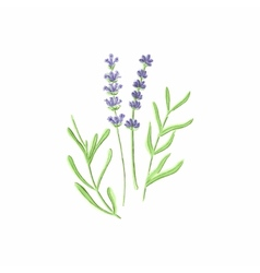 Lavender Watercolor lavanda on the white vector image
