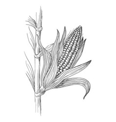 Corn grain stalk sketch vector