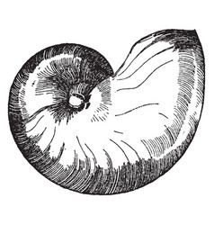 Nautilus shell is shown in its natural form vector