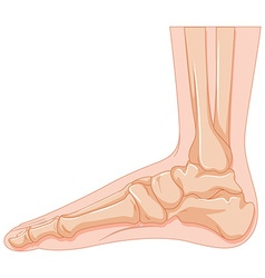 Human foot bone on white background vector