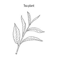 tea plant camellia sinensis vector image
