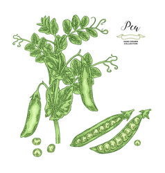 pea plant isolated on white background hand drawn vector image