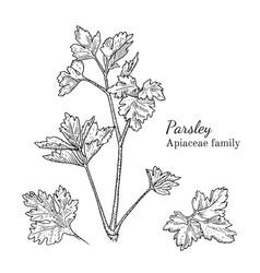 Ink parsley hand drawn sketch vector
