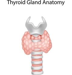 Cartoon of Thyroid Gland Anatomy vector image vector image