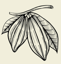 Cocoa fetus hand drawn vector