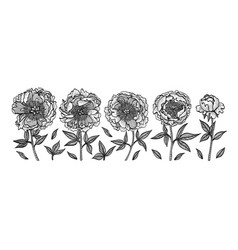 hand-drawing peonies vintage engraving vector image