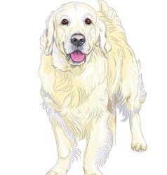dog breed Labrador Retriever vector image