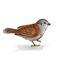 Little bird cub sparrow passer domesticus vector